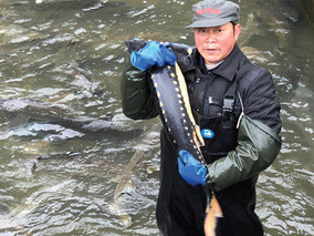 贵州农科院水产研究所出现金黄色的鲟鱼