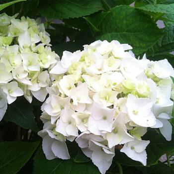 绣球花苗什么时候种植?绣球花种植时间和方法