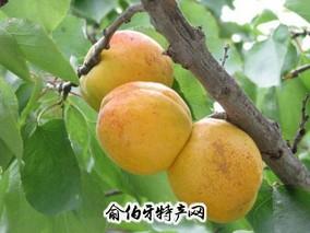 丹东-孤山杏梅