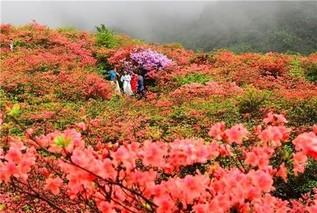 湖南长沙:10万亩杜鹃怒放大围山 五一赏花正当时