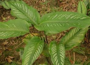花叶竹芋怎么浇水?花叶竹芋的养护要点