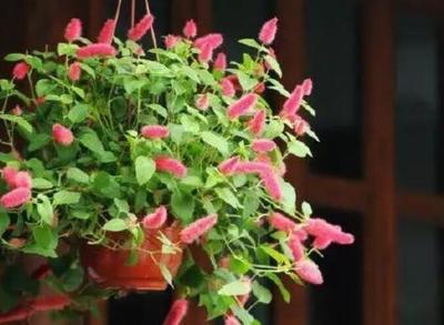 猫尾红的种植方法
