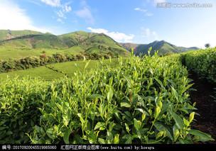 安吉白茶种植管理