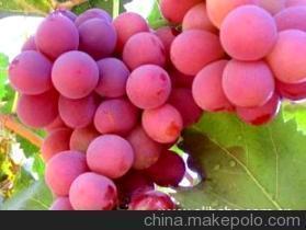 阳关无核白葡萄