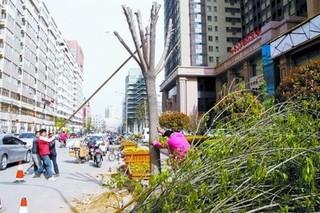 郑州市登封市林科所白蜡树与紫丁香属间高杆嫁接实验成功