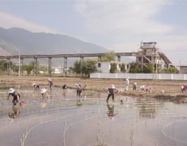大理市喜洲镇8000亩水稻灌溉不再依赖洱海水