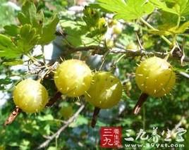 刺梨叶的功效与作用