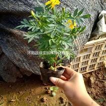 孔雀草种子几月播种最好