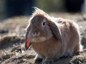 兔毛球病的症状与其综合防治