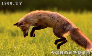 粉和肉骨粉对母蓝狐消化代谢和繁殖性能的影响