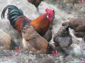 贵妃鸡养殖技术要点