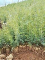 雪松小苗如何种植?雪松树苗种植管理技术