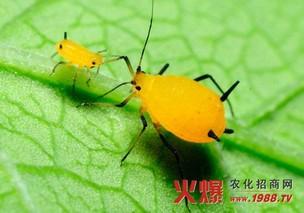 番木瓜的蚜虫防治技术