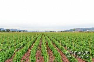 云南姚安:豌豆套种迎丰收 富农增收新亮点