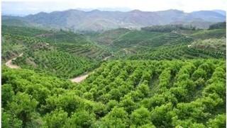 云南成全球最大澳洲坚果种植基地