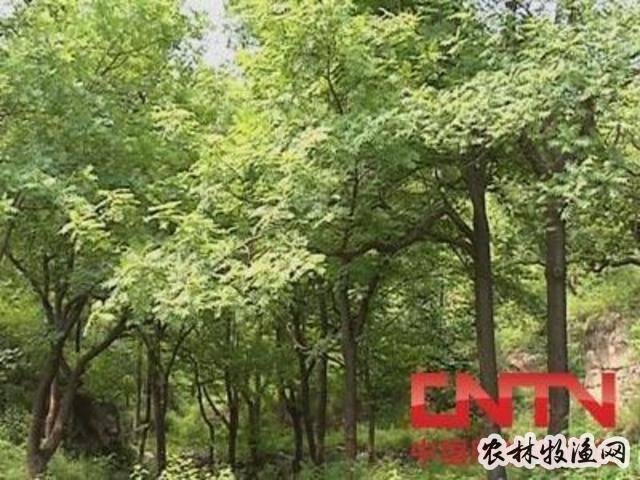 夹竹桃夏季硬枝扦插