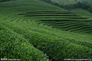 茶叶地方品种--莫干黄芽种
