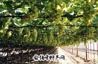 宣化白葡萄