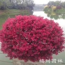红花继木用什么土栽培?红继木用什么肥料好?