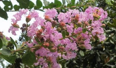 种植紫薇树前景怎么样?紫薇树适合在哪里种植?