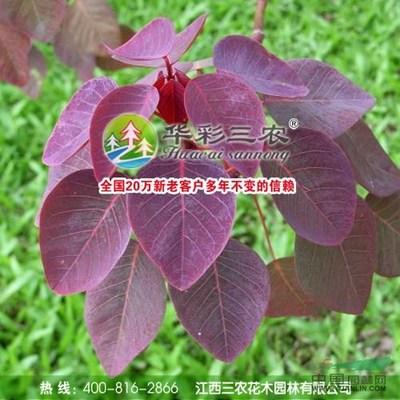 美国紫叶红栌有什么用?紫叶红栌应用价值
