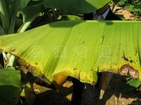 气候变化加剧部分地区香蕉病害
