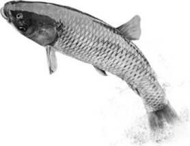 青鱼养殖技术要点