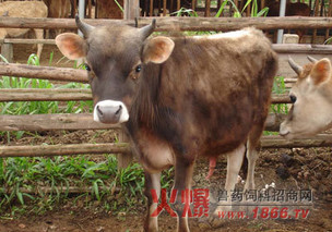 牛流感可用中药治疗