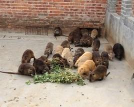 海狸鼠的养殖技术和养殖方式