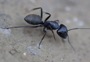 黑蚂蚁怎么吃