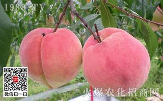 多效唑在桃树上的使用时期及施用浓度