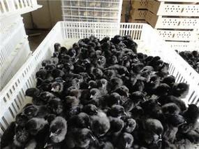 柳州市鹿寨农民养绿壳蛋鸡增收快