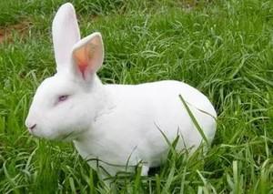 养兔子添喂葡萄糖效果好
