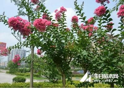 紫薇树怎么种植?紫薇树的种植技术与养护方法