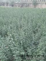 连翘适合在哪里种植?连翘的种植方法及条件