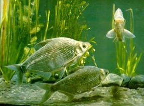 团头鲂鱼的人工繁殖