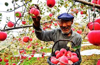 """今年甘肃静宁苹果产销两旺 果农""""增产稳收"""""""