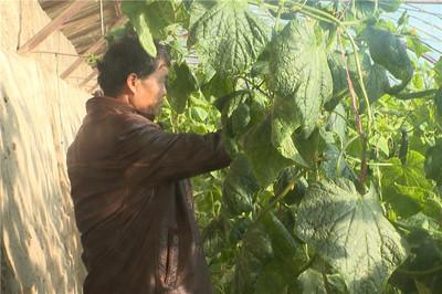 甘肃高台大棚极速5分排列3蔬菜产销两旺