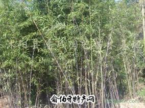 罗源霍口畲族乡香岭村紫竹