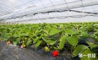 大棚草莓怎么种植?草莓的种植方法和技术
