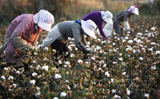 中国棉花主产区新疆进入棉花采收期