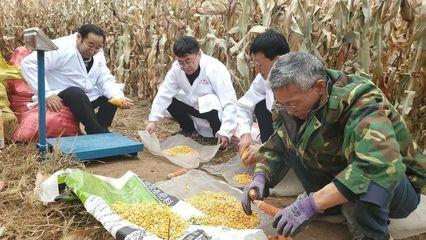 朝阳市建平县黑水镇种植大户玉米亩产创今年辽宁最高
