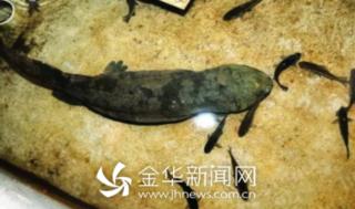 义乌抽样检查养殖娃娃鱼 保障水产品质量安全