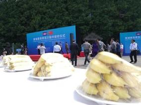 最具中国元素进口香蕉填补市场缺口