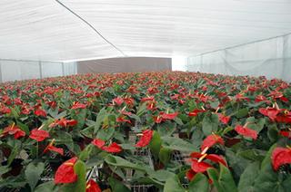 红掌生产温室降温技术