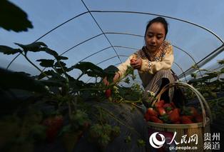 贵州大河:大棚牛奶草莓上市 近郊生态采摘邀您来