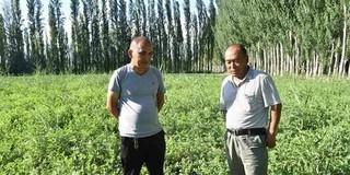 新疆和静:芦苇根助农脱贫
