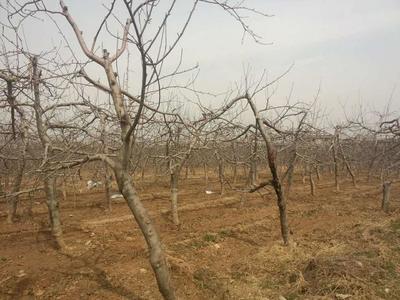 让陕西农民尝到种苹果甜头