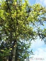 杉木油的功效与作用