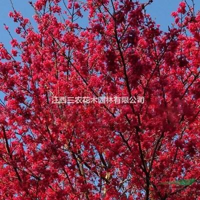 种植樱花怎么管理?樱花栽培及管理技术